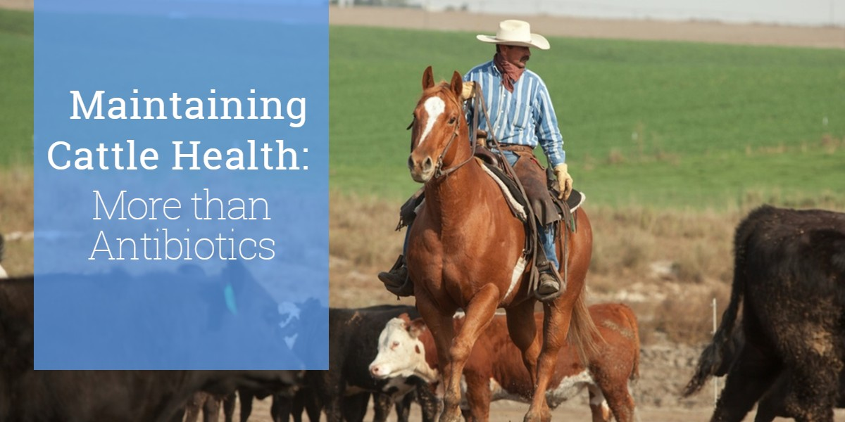 Maintaining Cattle Health: More Than Antibiotics