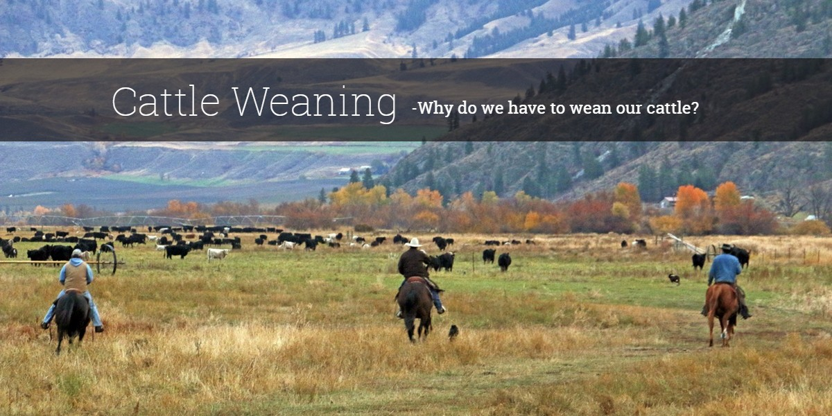 Cattle Weaning -why do we have to wean our cattle?